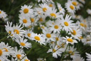 bunch-of-daisies